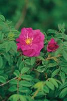 マイカイ(ヤエハマナス)の花
