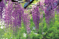 フジ(ノダフジ)の花