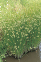 イグサの花