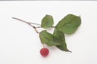 ヤマボウシの実と枝葉