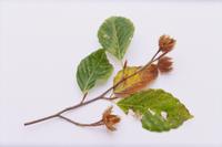 ブナの実と葉