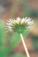 シロバナタンポポ 花(総苞片)