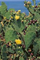 オプンチアの仲間(ウチワサボテン)の花