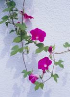 アサガオの花 32171000978| 写真素材・ストックフォト・画像・イラスト素材|アマナイメージズ