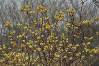 花期のミツマタ