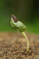 発芽するアサガオ