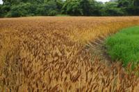 実ったコムギ畑