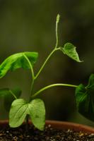 アサガオの本葉と蔓