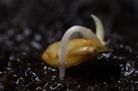イネの生長連続 2/4:発根