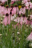 エキナセア・パリダの花