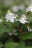 ヤエドクダミの花