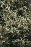 ゲッケイジュ(ローレル・月桂樹)の花