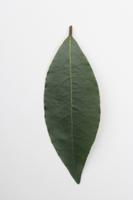 ゲッケイジュ(ローレル・月桂樹)の葉