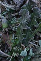 霜 セイヨウタンポポ