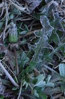 霜 セイヨウタンポポ 32171002356| 写真素材・ストックフォト・画像・イラスト素材|アマナイメージズ