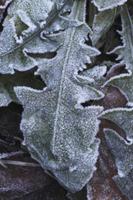 霜の葉 セイヨウタンポポ