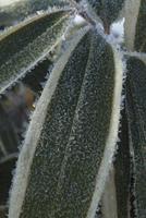 クマザサの葉についた霜