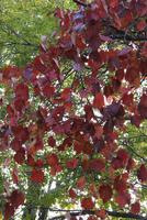 ヤマブドウ 紅葉