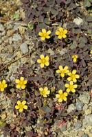 アカカタバミの花