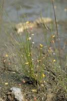 ミミカキグサ(食虫植物) 32171004643| 写真素材・ストックフォト・画像・イラスト素材|アマナイメージズ