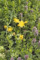 カントウタンポポの花