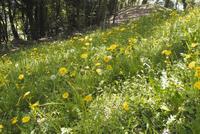 カントウタンポポの花 群落