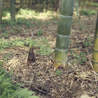 モウソウチク(孟宗竹)のタケノコ