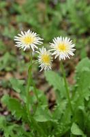 シロバナタンポポの花