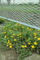 道路脇のタンポポの花
