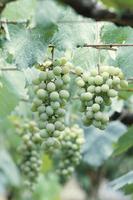 甲州ブドウの幼実