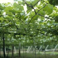ブドウの若い実 ブドウ棚 品種:甲州