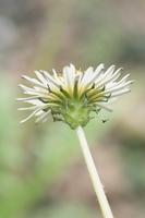 シロバナタンポポの花(総苞片)