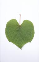 ヤマブドウの葉(表)