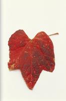 エビヅルの紅葉