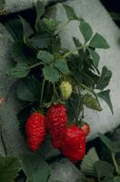イチゴ 6-6 実が赤くなる