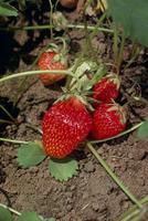 イチゴの露地栽培