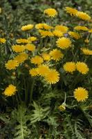 エゾタンポポの花