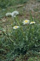 シロバナタンポポの花と綿毛