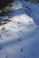 ホンドキツネの足跡