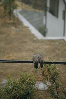 雨の日のキジバト