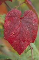 ヤマブドウの紅葉