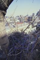 ハンガーなどを使ったハシブトガラスの巣