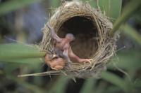 オオヨシキリのヒナを巣の外へ押し出すカッコウのヒナ