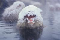 雪の中 温泉につかるニホンザル