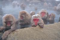 降雪の中、温泉につかるニホンザルの群れ