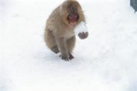雪玉を抱えて歩くニホンザルの子
