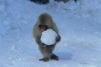 雪玉を抱えるニホンザルの子