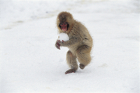 雪玉で遊ぶニホンザルの子 32173000038| 写真素材・ストックフォト・画像・イラスト素材|アマナイメージズ
