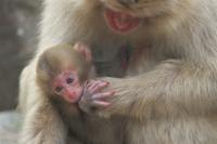 母親の懐に抱かれたニホンザルの赤ちゃん