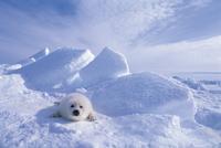 氷上のタテゴトアザラシの子